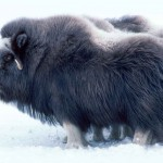 A musk ox. This image courtesy of http://www.public-domain-image.com/.